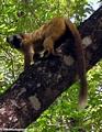 Rufus brown lemur  (Tsingy de Bemaraha)