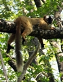 Red-fronted brown lemur  (Tsingy de Bemaraha)