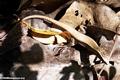 Mabuya skink in leaf litter (Tsingy de Bemaraha)