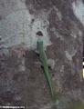 Phelsuma gecko (Tsingy de Bemaraha)