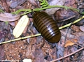 Pill millipede at Berenty (Berenty)