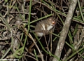 Grey mouse lemur (Berenty)