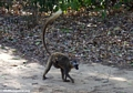 Red-fronted brown lemur with baby on back (Berenty)