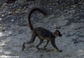 Red-fronted brown lemur at Berenty (Berenty)