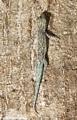 Phelsuma mutabilis gecko