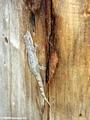 Phelsuma gecko at Berenty (Berenty)