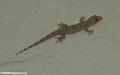 House gecko (Berenty)