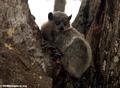 Lepilemur leucopus lemur (Berenty)