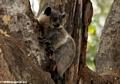 White-footed sportive lemur (Lepilemur leucopus) (Berenty)