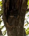Lepilemur leucopus (Berenty)