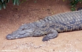 Nile crocodile (Crocodylus niloticus) (Berenty)
