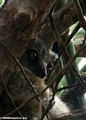 White-footed sportive lemur (Berenty)