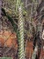 Alluaudia spiny plant (Berenty)