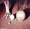 Elephant bird; Aepyornis maximus; egg size comparison with ostrich egg (Berenty)