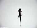 Phelsuma gecko in Ft. Dauphin (Berenty)