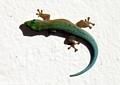 Phelsuma modesta modesta gecko in Taolagnaro