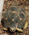 Madagascar radiated tortoise (Berenty)