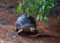 Geochelone radiata tortoise
