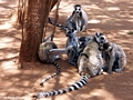 Group of ring-tailed lemurs (Berenty)