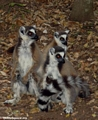 Group of Lemur catta (Berenty)