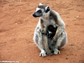 Mother ringtail with baby on stomach (Berenty)