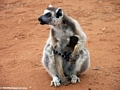 Mother ringtail with baby on chest (Berenty)