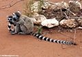 Huddled ringtail lemurs (Berenty)