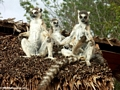 Ringtail lemurs sunning on thatch hut (Berenty)
