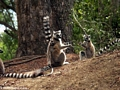 Ring-tailed lemurs paddycake