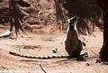 Ringtailed lemur calling (Berenty)