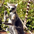 Ringtailed lemur (Lemur catta) eating leaves (Berenty)