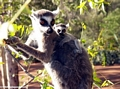 Ringtailed lemur (Lemur catta) eating with baby on back
