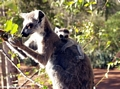 Ringtailed lemur eating with baby on back (Berenty)