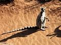 Ringtailed lemur (Lemur catta) sunbathing (Berenty)