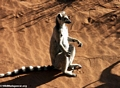 Ringtailed lemur sunbathing (Berenty)