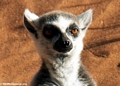Ring-tailed lemur (Lemur catta) sunbathing (Berenty)
