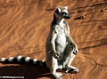 Ring-tailed lemur sunbathing (Berenty)