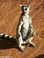Ringtailed lemur taking in the sun (Berenty)