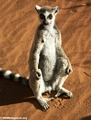 Ring-tailed lemur taking in the sun (Berenty)