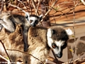 Ring-tail lemur with baby on board (Berenty)