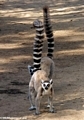 Ringtailed lemurs at attention (Berenty)