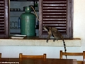 Ringtailed lemurs raiding kitchen (Berenty)