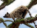 Ring-tailed lemur on spiny plant (Berenty)