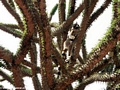 Ring-tailed lemur on Alluaudia (Berenty)