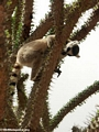 Ringtail lemur on Alluaudia (Berenty)