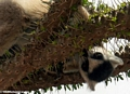 Ringtail lemur on Alluaudia tree (Berenty)