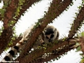 Ringtail lemur (Lemur catta) on Alluaudia tree (Berenty)