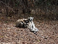 Ring-tailed lemurs huddling together for warmth (Berenty)