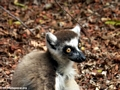Ringtail closeup (Berenty)