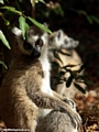 Ringtail lemur in gallery forest (Berenty)